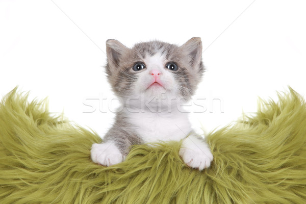 Kitten Portrait in Studio on White Background Stock photo © tobkatrina