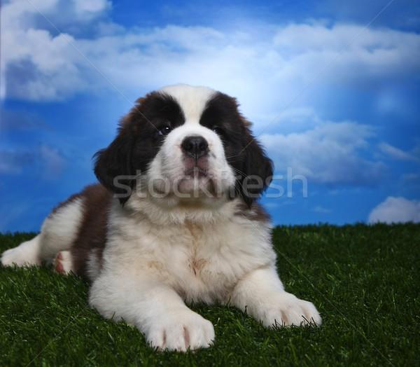 Adorable Saint Bernard Pups  Stock photo © tobkatrina