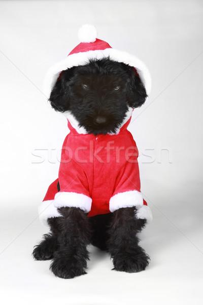 Stock photo: Upset Black Russian Terrier Puppy in Santa Suit