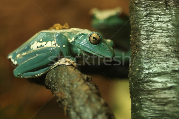 Curious Chinese Gliding Frog Sitting on a Tree Branch Stock photo © tobkatrina