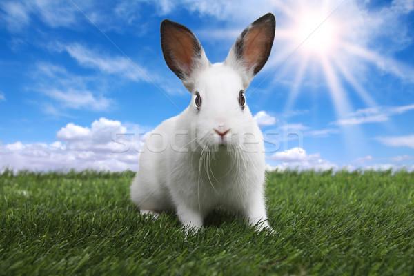 Conejo sereno soleado campo pradera primavera Foto stock © tobkatrina