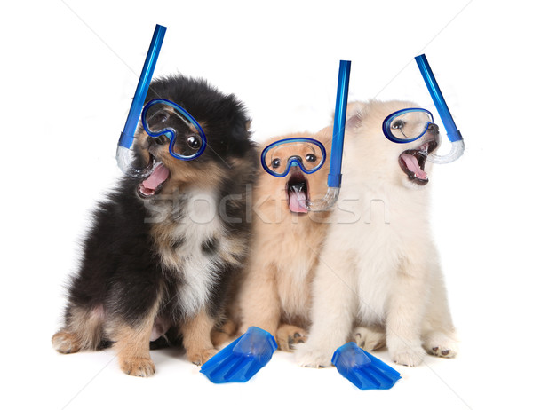 Pomeranian Puppies Wearing Snorkeling Gear Stock photo © tobkatrina