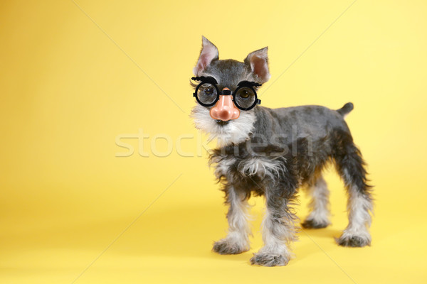 Pequeno schnauzer cachorro cão bonitinho sessão Foto stock © tobkatrina