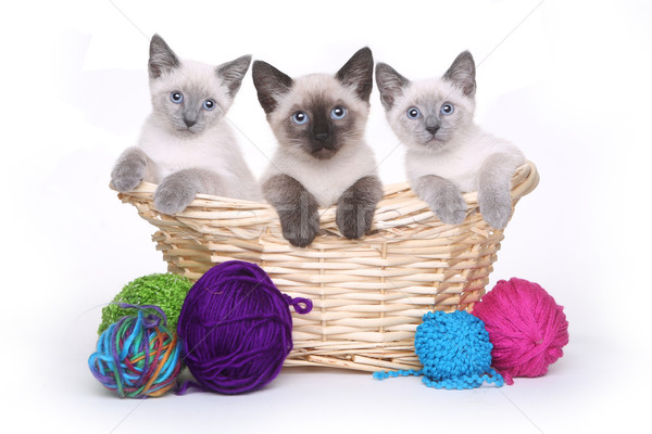 Siamese Kittens on White Background With Yarn Stock photo © tobkatrina