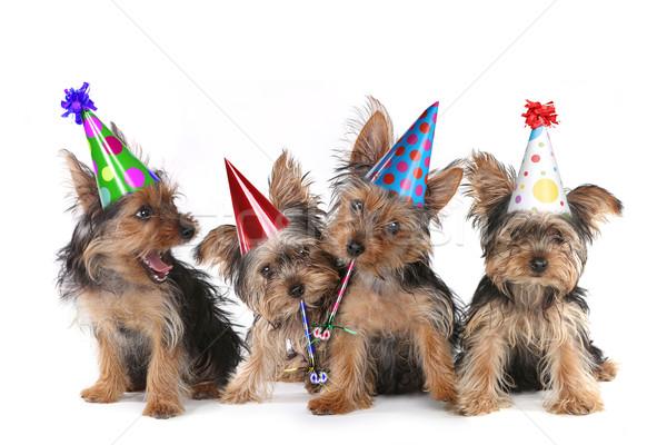 Cumpleanos yorkshire terrier cachorros blanco feliz cumpleaños Foto stock © tobkatrina