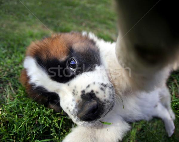 Closeup Perspective of a Saint Bernard Puppy Outdoors Stock photo © tobkatrina