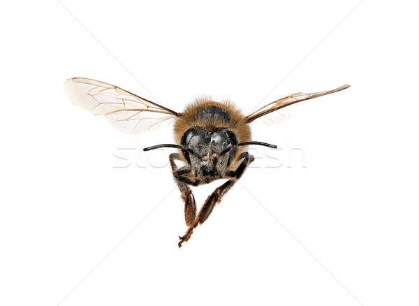Honey Bee Looking Right At You  Stock photo © tobkatrina