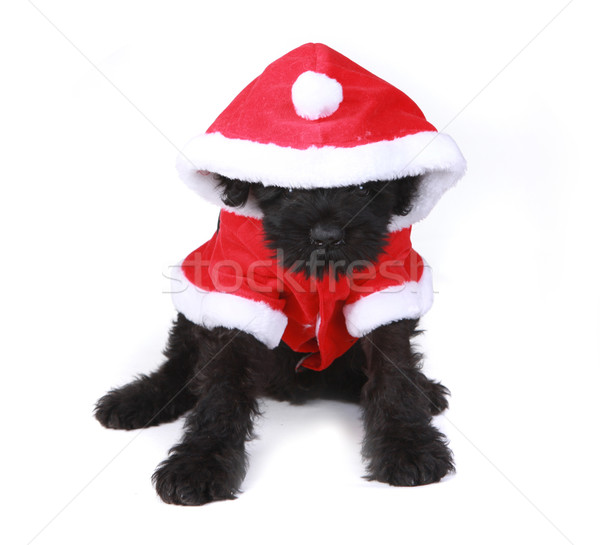 Cute Black Russian Terrier Puppy Santa on White Background Stock photo © tobkatrina