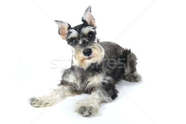 Cute Miniatur Schnauzer Welpen Hund weiß Stock foto © tobkatrina