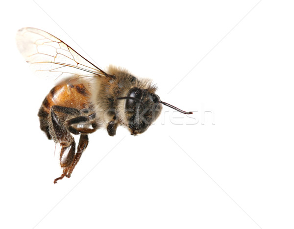 Common Honeybee on White Background Stock photo © tobkatrina