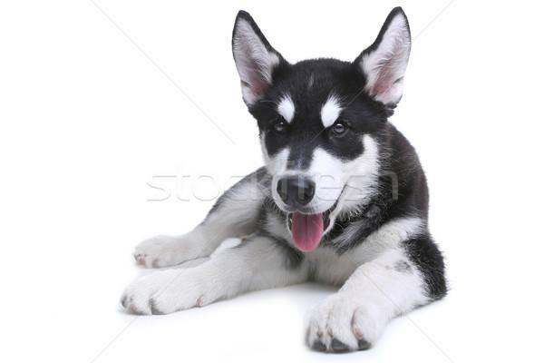 子犬 白 スタジオ 愛らしい 犬 ストックフォト © tobkatrina