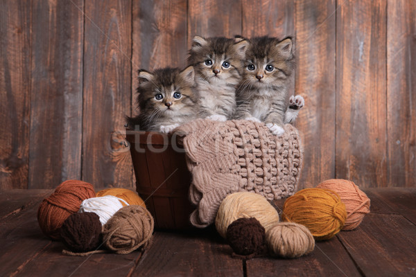 Kittens With Balls of Yarn in Studio Stock photo © tobkatrina
