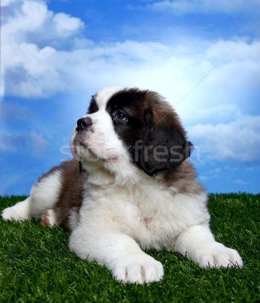 愛らしい かわいい 幸せ 動物 子犬 ストックフォト © tobkatrina