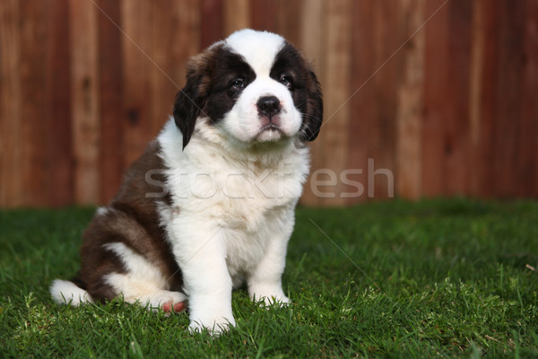 Adorable Saint Bernard Pup Stock photo © tobkatrina