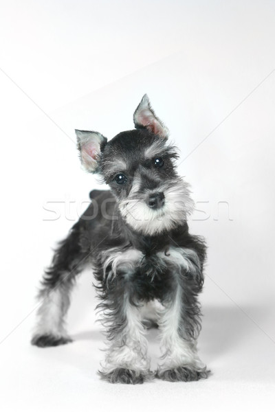 Cute Baby Miniature Schnauzer Puppy Dog on White Stock photo © tobkatrina