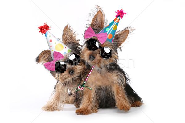 Doğum günü yorkshire terriyer yavru beyaz mutlu yıllar Stok fotoğraf © tobkatrina