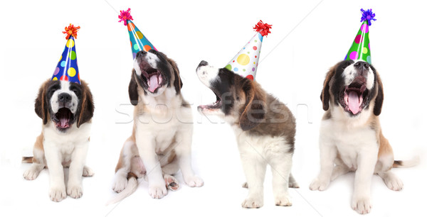 Singing Saint Bernard Dogs Celebrating Stock photo © tobkatrina