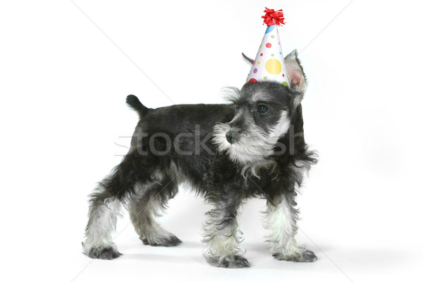 Birthday Hat Wearing Miniature Schnauzer Puppy Dog on White Stock photo © tobkatrina