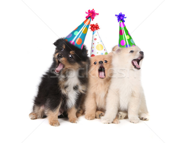 Stock photo: Puppies Singing Happy Birthday Wearing Party Hats