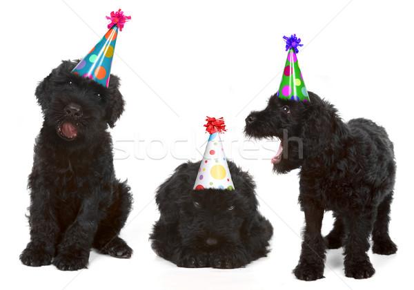 Birthday Black Russian Terriers Stock photo © tobkatrina