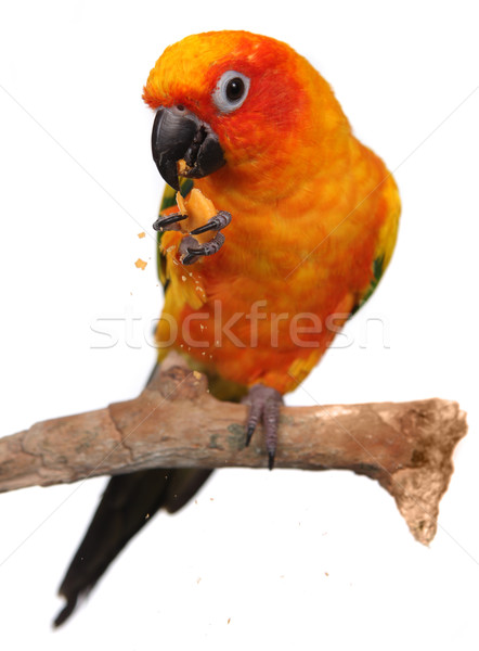 Sun Conure Eating a Cracker Snack With Extreme Depth Of Field Stock photo © tobkatrina