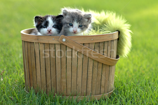 Kittens Outdoors in Natural Light Stock photo © tobkatrina