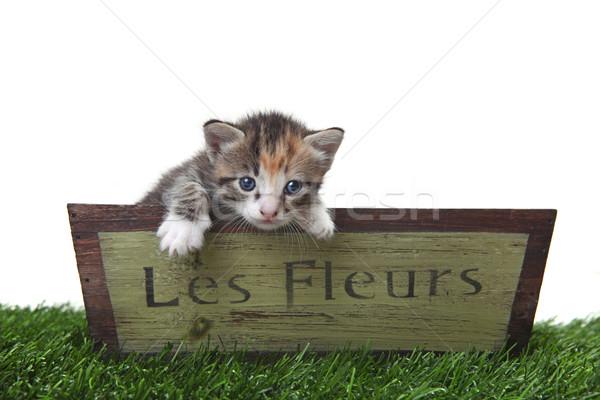 愛らしい かわいい 子猫 花 ボックス 子猫 ストックフォト © tobkatrina