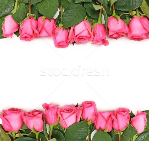 アップ ピンク バラ 白 国境 花 ストックフォト © tobkatrina