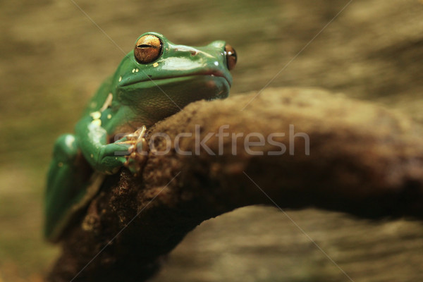 A Chinese Gliding Frog With Eyes Closed Stock photo © tobkatrina