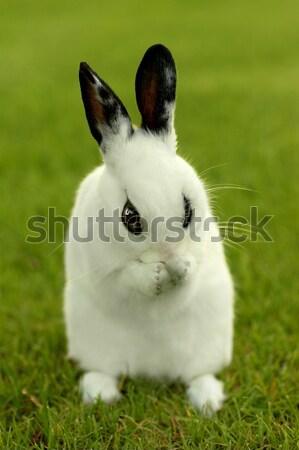 白 バニー ウサギ 屋外 草 愛らしい ストックフォト © tobkatrina