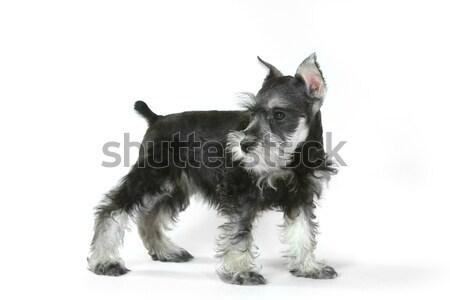 Cute Baby Miniature Schnauzer Puppy Dog on White Stock photo © tobkatrina
