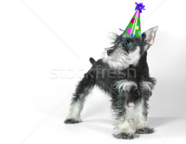 Foto d'archivio: Compleanno · Hat · indossare · miniatura · schnauzer · cucciolo