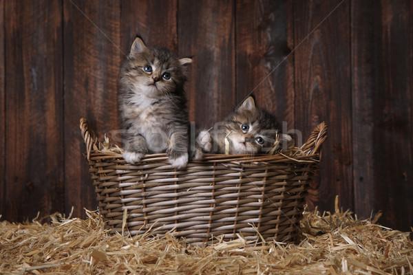 Bonitinho adorável gatinhos celeiro feno bebê Foto stock © tobkatrina