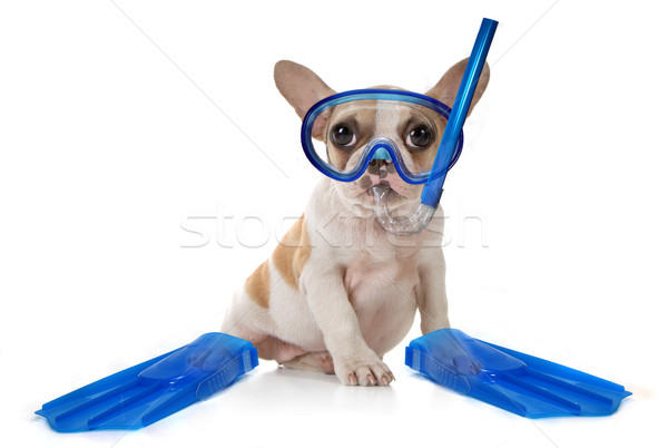 Puppy Dog With Swimming Snorkeling Gear Stock photo © tobkatrina