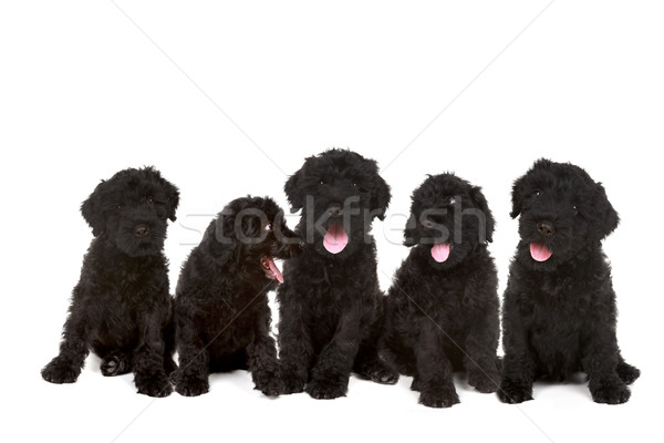 Stock photo: Group of Black Russian Terrier Puppies