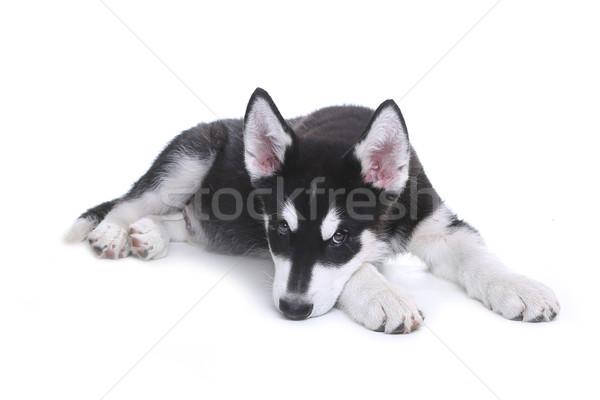 Alaskan Malamute Puppy on White Background in Studio Stock photo © tobkatrina