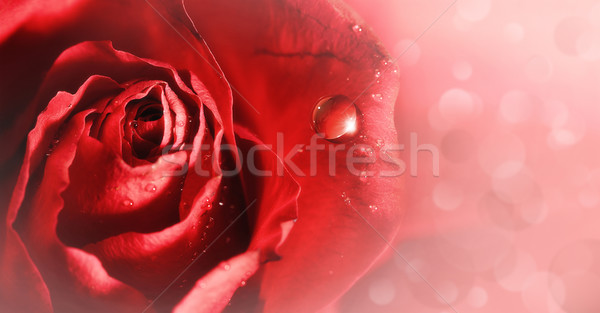 Rose tendresse Rose Red résumé horizons Photo stock © tolokonov