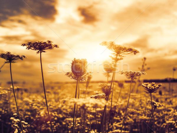 Sol abstrato naturalismo fundos flores silvestres Foto stock © tolokonov