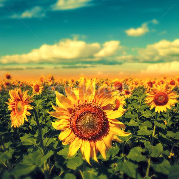 Słoneczniki Błękitne niebo piękna wiejskie sceny niebo kwiat Zdjęcia stock © tolokonov