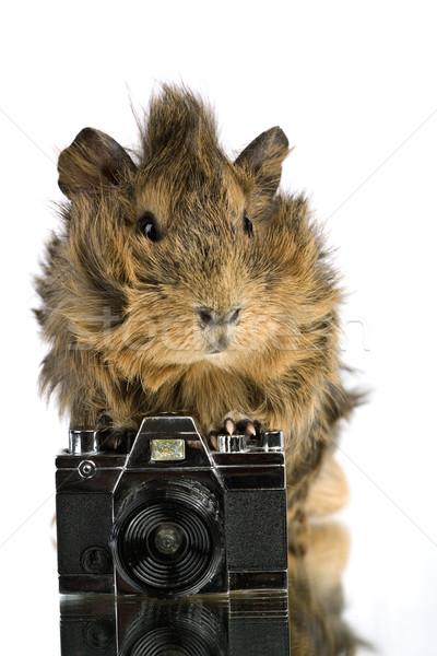 Funny shaggy photographer. A Cavia with old photo camera Stock photo © tolokonov