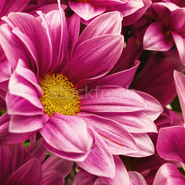 Chrysant bloemen abstract achtergronden natuur Stockfoto © tolokonov