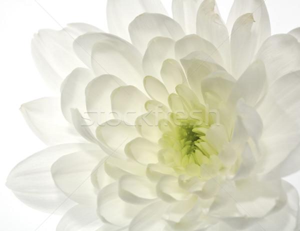 Biały chryzantema kwiat streszczenie środowisk Zdjęcia stock © tolokonov