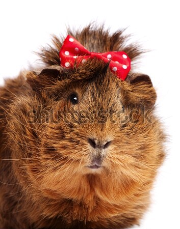 Funny guinea pig portrait over white background Stock photo © tolokonov
