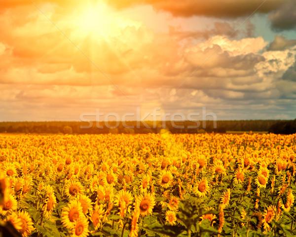 Golden summer sun over the sunflower fields, natural landscape Stock photo © tolokonov