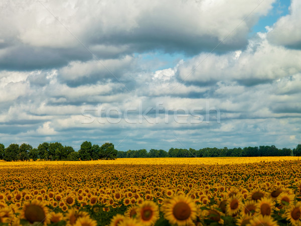 Napraforgó mezők szeszélyes nyár természetes tájkép Stock fotó © tolokonov