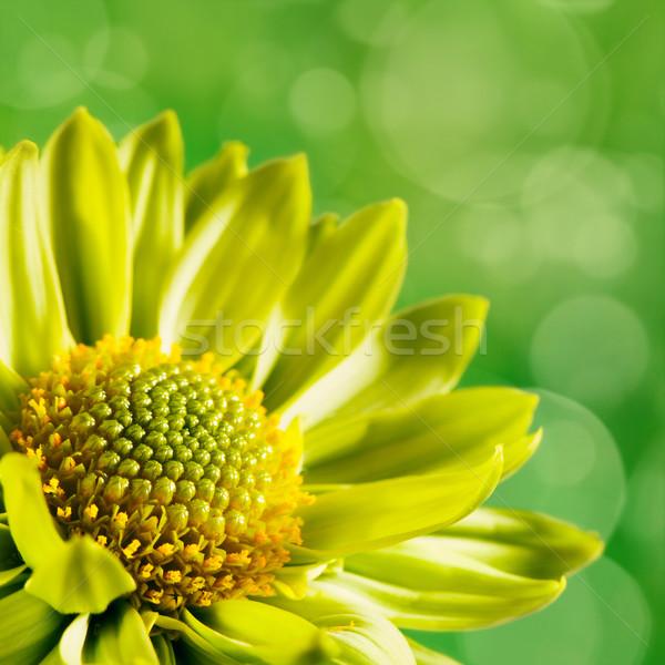 Krizantém virág zöld hátterek esküvő szépség Stock fotó © tolokonov