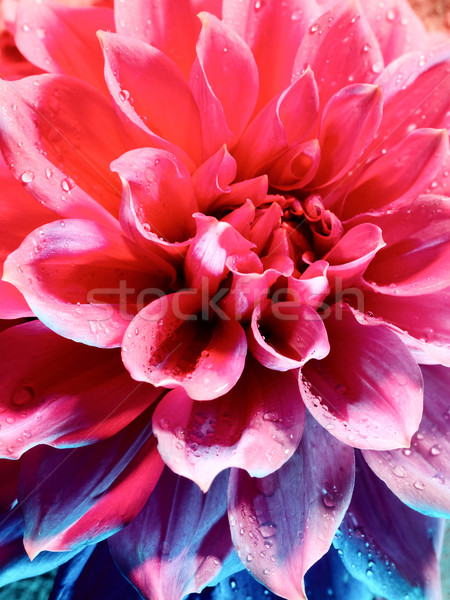 Beautiful lotus flower under the blue and red light Stock photo © tolokonov