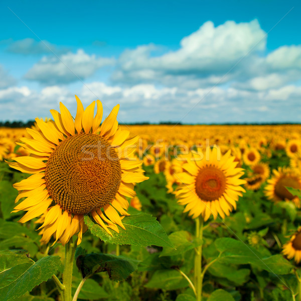 Fiori ottimista estate panorama design Foto d'archivio © tolokonov