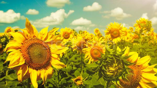 Słoneczniki Błękitne niebo piękna wiejskie sceny drzewo lasu Zdjęcia stock © tolokonov