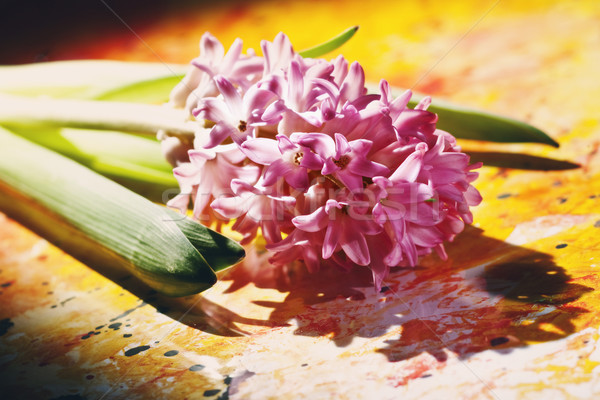 bunch of pink hyacinth flowers,  closeup photo over abstract bac Stock photo © tolokonov
